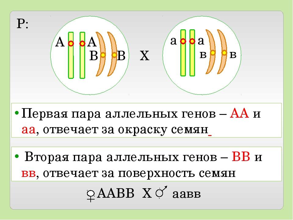 X P: А А В В а а в в Первая пара аллельных генов – АА и аа, отвечает за окра...