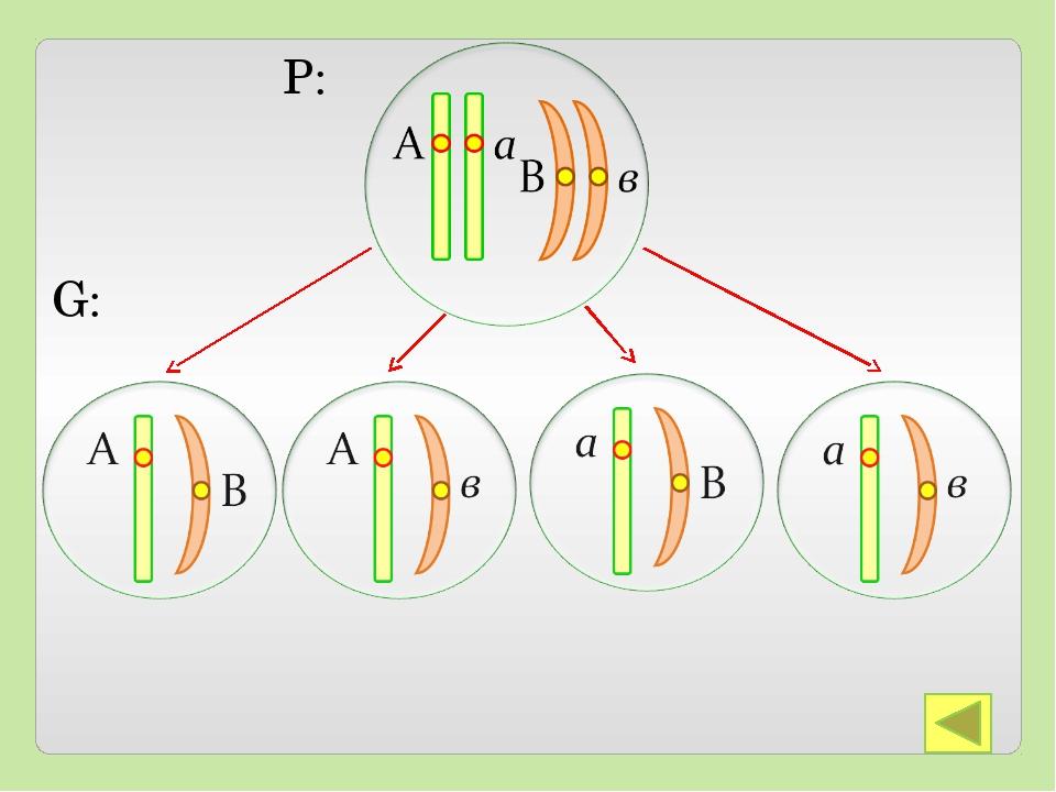 Закон справедлив, если аллельные гены расположены в разных парах гомологичны...