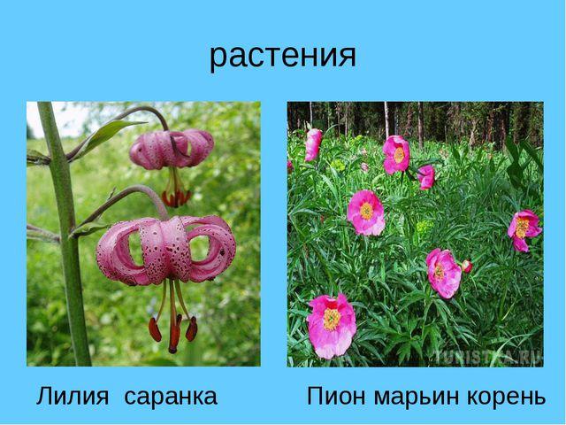 растения Лилия саранка Пион марьин корень