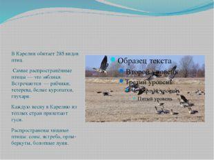 В Карелии обитает 285 видов птиц. Самые распространённые птицы — это зяблики