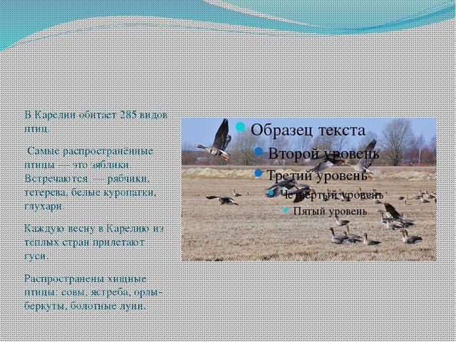 В Карелии обитает 285 видов птиц. Самые распространённые птицы — это зяблики...