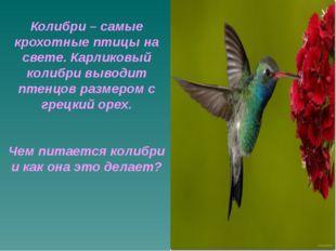 Колибри – самые крохотные птицы на свете. Карликовый колибри выводит птенцов