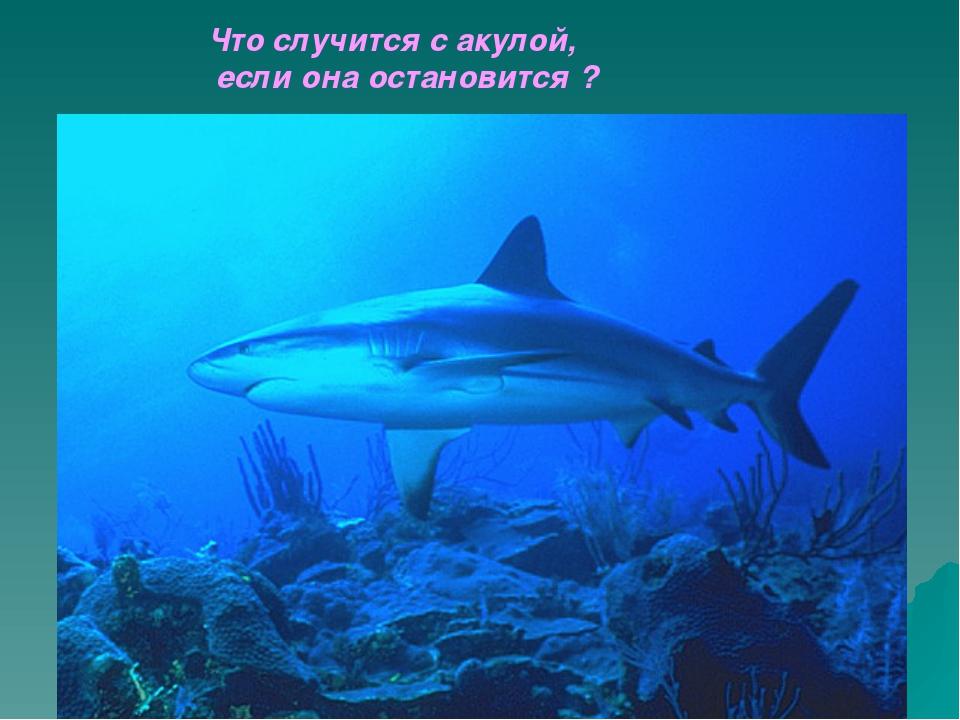 Что случится с акулой,                        если она остановится ?...