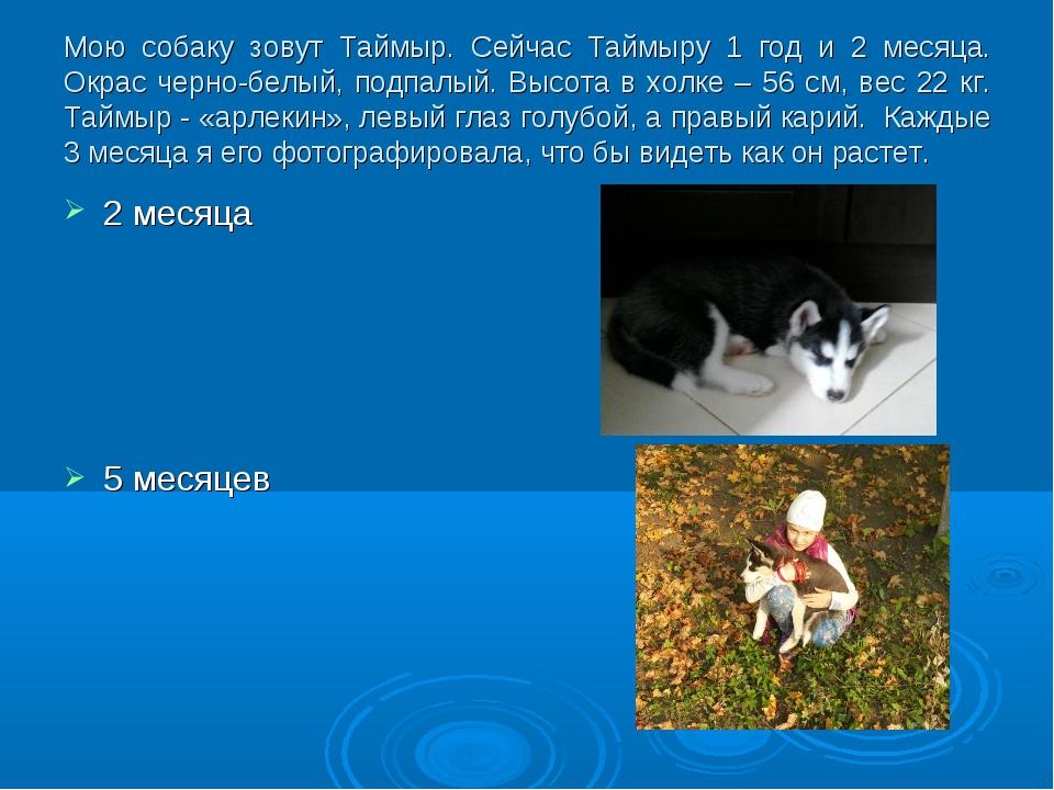 Мою собаку зовут Таймыр. Сейчас Таймыру 1 год и 2 месяца. Окрас черно-белый,...