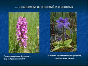 ... и охраняемых растений и животных Жирянка – насекомоядное растение, подлеж