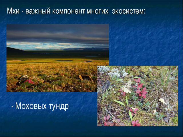 Мхи - важный компонент многих экосистем: - Моховых тундр