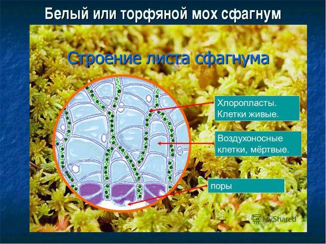 Белый или торфяной мох сфагнум