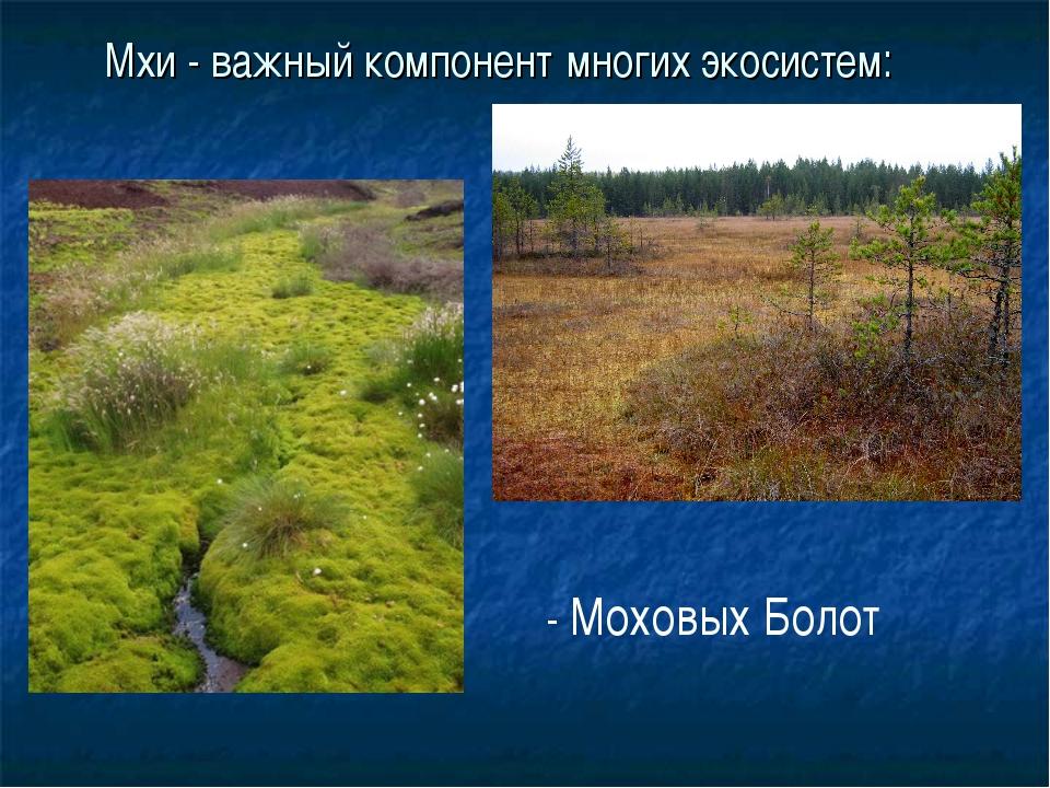 Мхи - важный компонент многих экосистем: - Моховых Болот