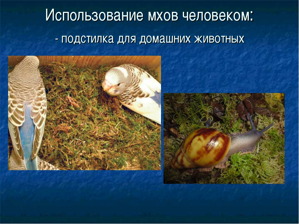 Использование мхов человеком: - подстилка для домашних животных