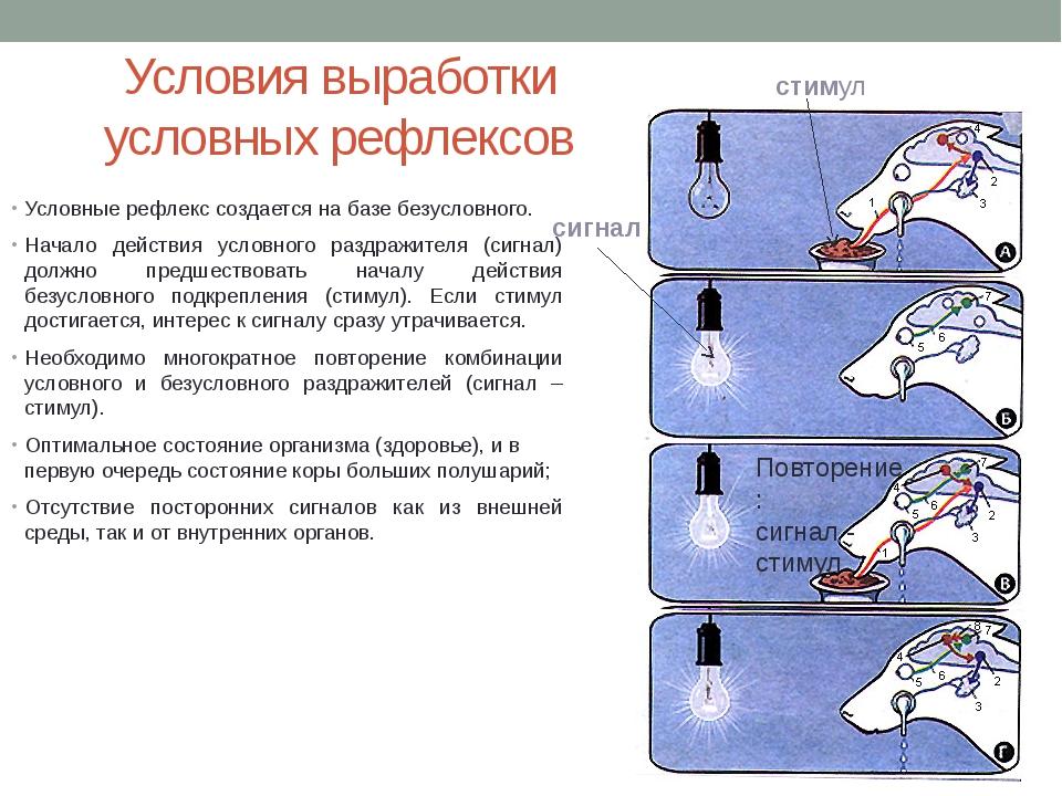 Условия выработки условных рефлексов Условные рефлекс создается на базе безус...