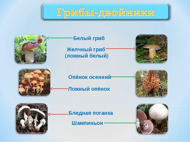 Белый гриб Желчный гриб (ложный белый) Опёнок осенний Ложный опёнок Бледная п...