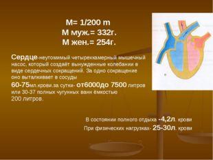 М= 1/200 m М муж.= 332г. М жен.= 254г. Сердце-неутомимый четырехкамерный мыше