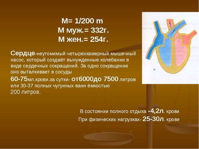 М= 1/200 m М муж.= 332г. М жен.= 254г. Сердце-неутомимый четырехкамерный мыше...