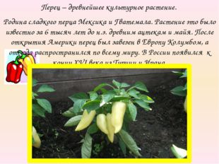 Перец – древнейшее культурное растение. Родина сладкого перца Мексика и Гвате