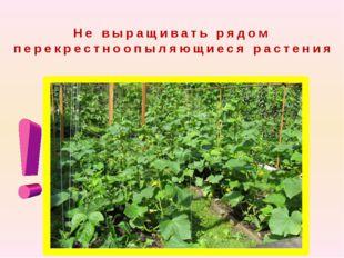 Не выращивать рядом перекрестноопыляющиеся растения