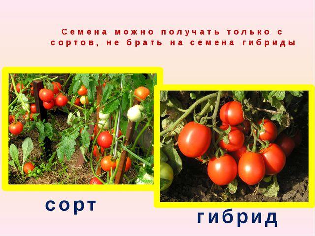 Семена можно получать только с сортов, не брать на семена гибриды сорт гибрид