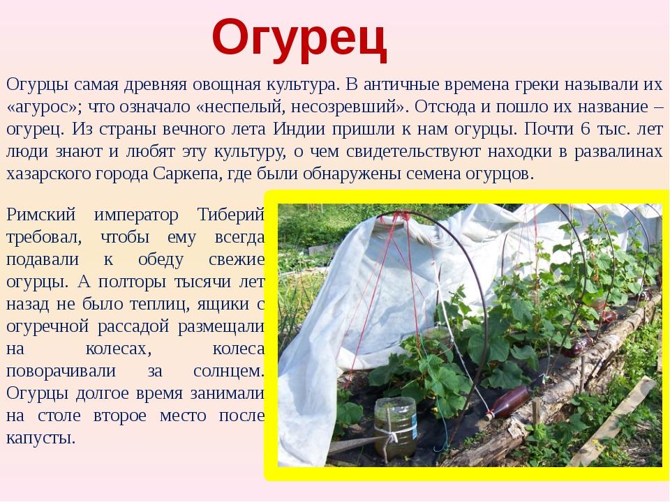 Огурец Огурцы самая древняя овощная культура. В античные времена греки назыв...