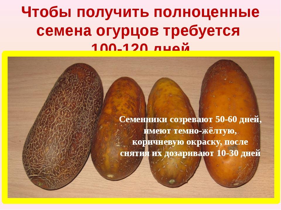 Чтобы получить полноценные семена огурцов требуется 100-120 дней Семенники со...