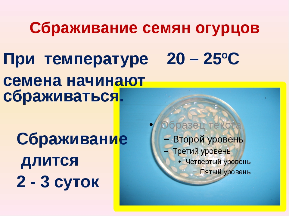 Сбраживание семян огурцов При температуре 20 – 25ºС семена начинают сбраживат...