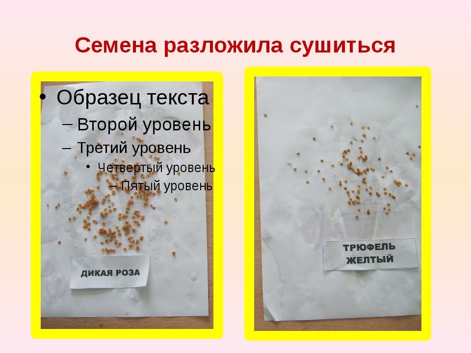 Семена разложила сушиться