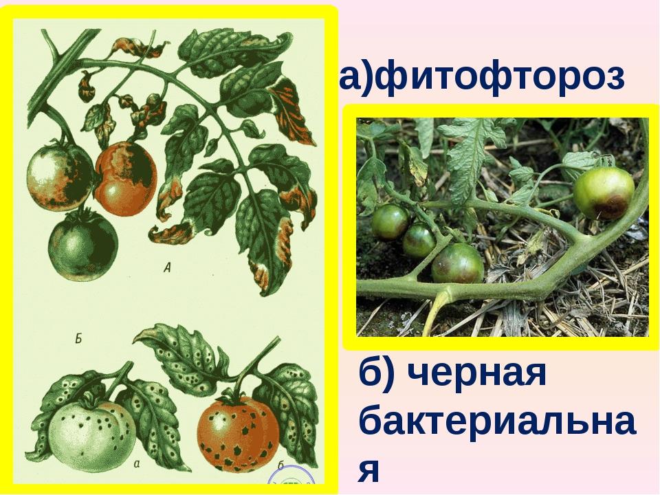 а)фитофтороз б) черная бактериальная пятнистость