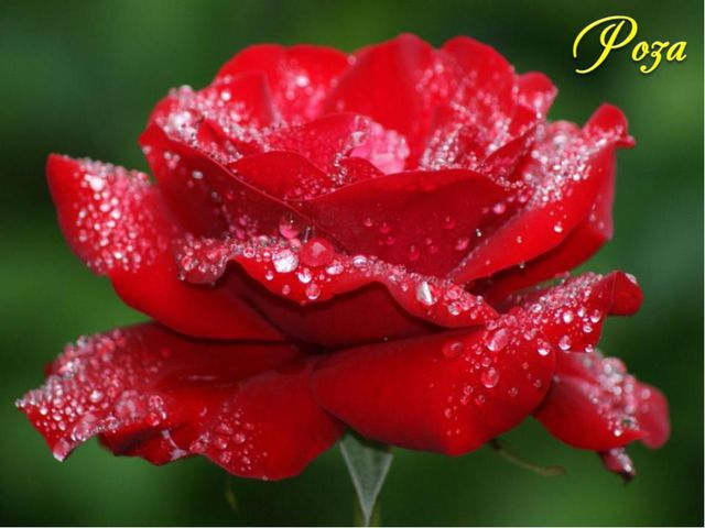 По древнегреческой легенде этот цветок родился из белоснежной пены, покрывавш...