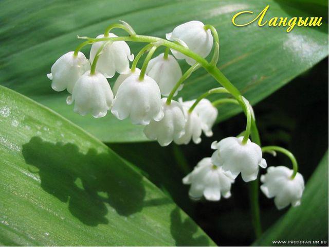 В русских преданиях белые цветки этого растения называются слезами морской ца...