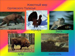 Животный мир Орловского Полесья Бурый медведь глухарь рысь зубр выхухоль