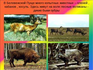 В Беловежской Пуще много копытных животных – оленей , кабанов , косуль. Здесь
