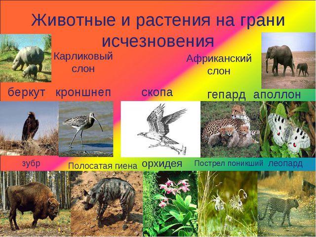 Животные и растения на грани исчезновения беркут кроншнеп Карликовый слон Афр...
