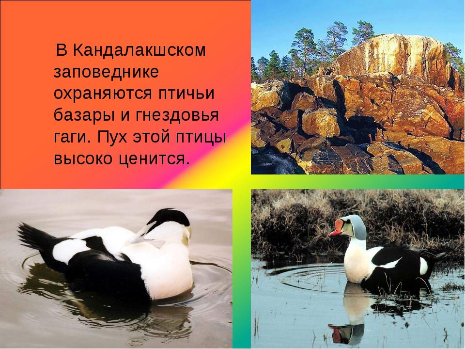 В Кандалакшском заповеднике охраняются птичьи базары и гнездовья гаги. Пух э...