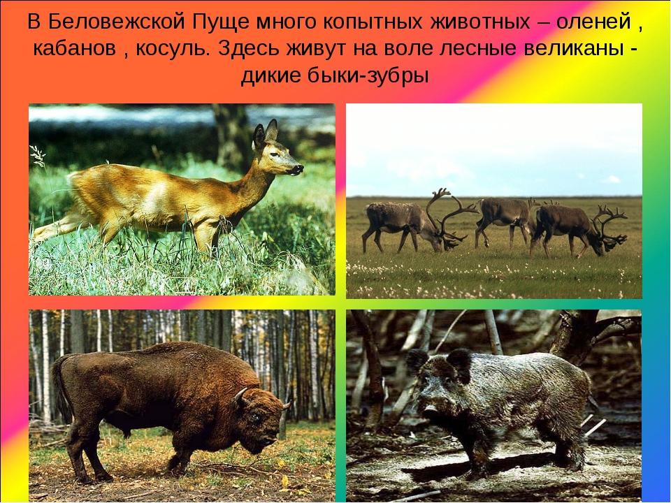 В Беловежской Пуще много копытных животных – оленей , кабанов , косуль. Здесь...