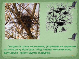 Гнездятся грачи колониями, устраивая на деревьях по нескольку больших гнёзд.