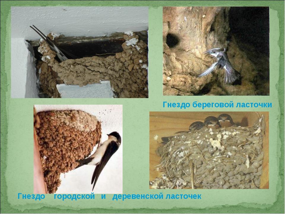 Гнездо береговой ласточки Гнездо городской и деревенской ласточек