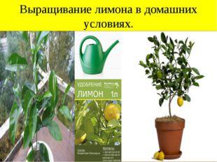 Выращивание лимона в домашних условиях.