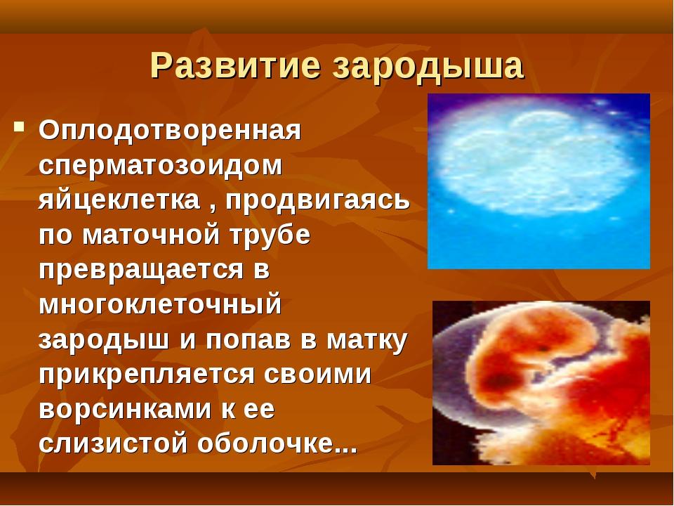 Развитие зародыша Оплодотворенная сперматозоидом яйцеклетка , продвигаясь по...