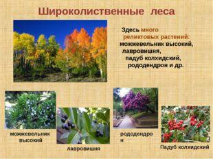 Широколиственные леса дуб Падуб колхидский лавровишня Здесь много реликтовых