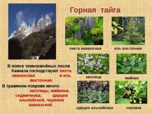 Горная тайга В поясе темнохвойных лесов Кавказа господствуют пихта кавказская