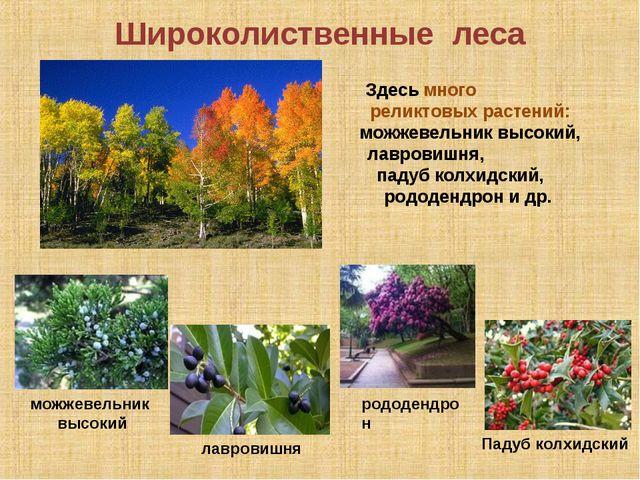 Широколиственные леса дуб Падуб колхидский лавровишня Здесь много реликтовых...