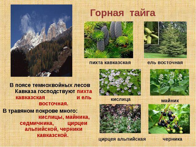 Горная тайга В поясе темнохвойных лесов Кавказа господствуют пихта кавказская...
