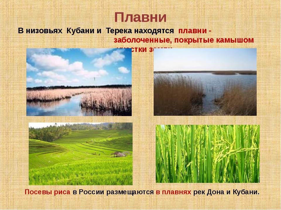 Плавни В низовьях Кубани и Терека находятся плавни - заболоченные, покрытые к...