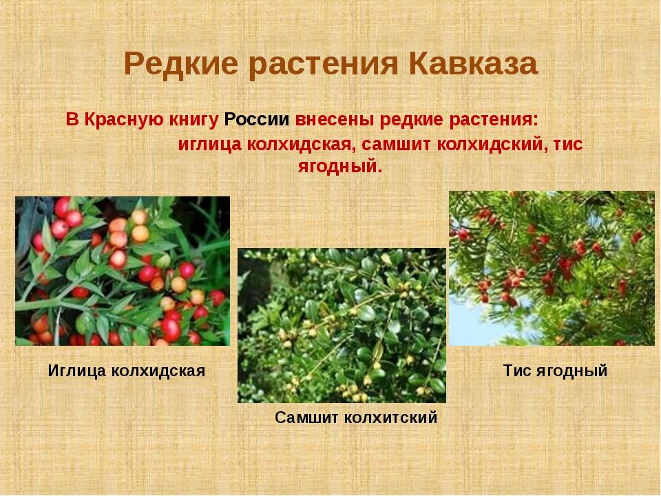 Редкие растения Кавказа В Красную книгу России внесены редкие растения: иглиц...