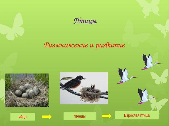 Птицы Размножение и развитие яйца птенцы Взрослая птица