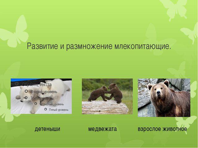 Развитие и размножение млекопитающие. детеныши медвежата взрослое животное
