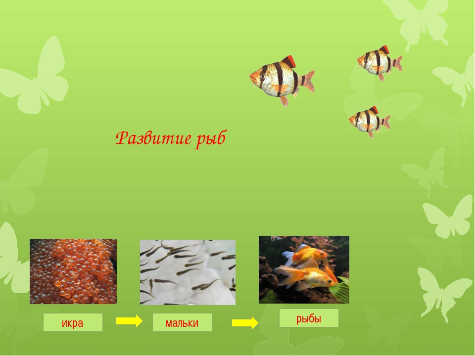 Развитие рыб икра рыбы мальки