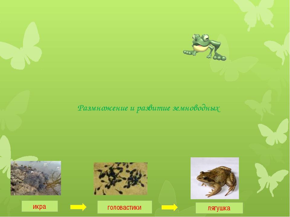 Размножение и развитие земноводных икра головастики лягушка