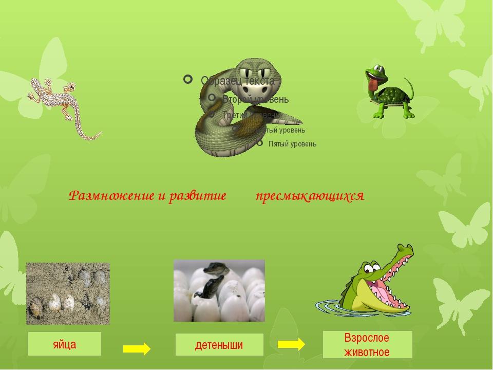 яйца детеныши Взрослое животное Размножение и развитие пресмыкающихся