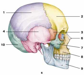 http://www.anatomcom.ru/images/part1_foto/s73.jpg