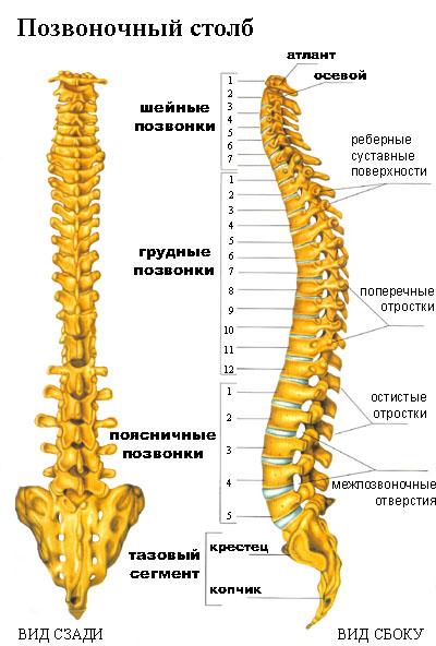Позвоночный столб (columna vertebralis)