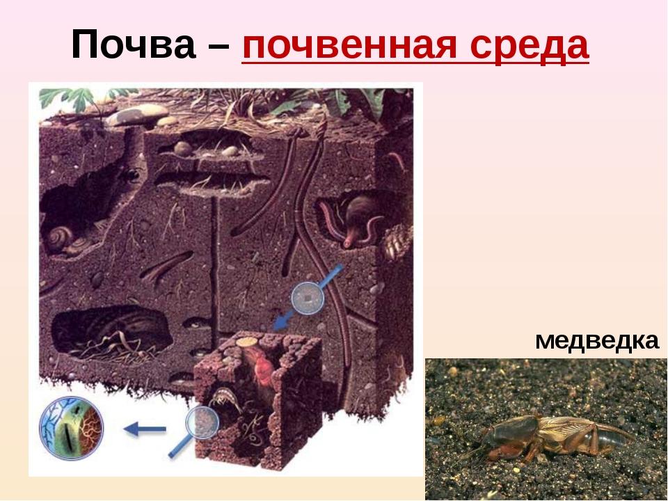 Почва – почвенная среда медведка